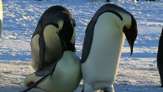 The Best Penguin Sex Fails