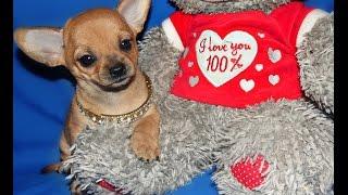 The funniest puppy chiweenie (chihuahua dachshund mix) Eloise Щенок чивини (чихуахуа и такса) Элоиза