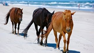 Outer Banks Corolla Wild Horses - How Did They Get Here?