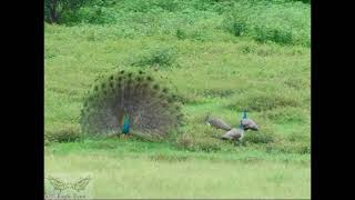 ❤️❤️Beautiful sight of a PEACOCK dancing in rain🌧️❤️❤️