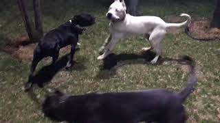 2 Erkek Ve 1 Dişi Köpek ÇİFTLEŞME 18
