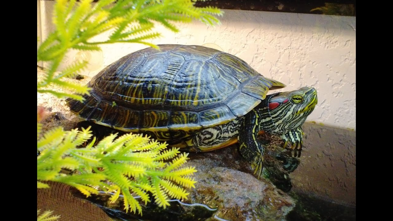 what can i feed my baby red eared slider turtle