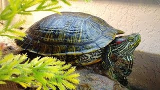 What To Feed Your turtle. Feeding tips for aquatic red eared slider diet care guide.