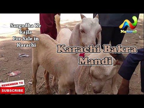 Lalokhet Bakra Mandi ||  Sargodha Ke kajla For Sale karachi || 17 Sep  2017 Karachi