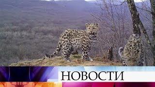 За последние десять лет дальневосточных леопардов стало в три раза больше.