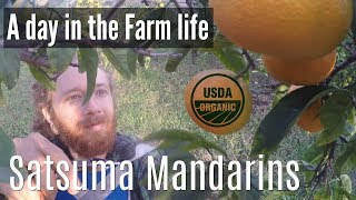 A Day in the Farm life | Picking Satsuma Mandarins