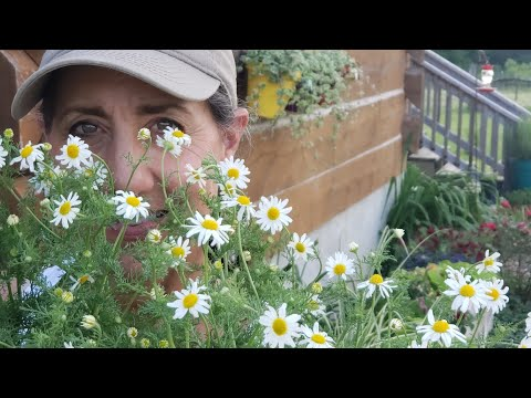 What you DIDN'T know about Chamomile! Growing | Harvesting | Uses