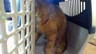 видео Бронхит у кошек: причины, симптомы и лечение