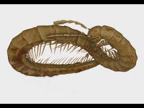 Burmanopetalum inexpectatum gen. nov. et sp. nov., female holotype.