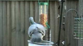 Persistant Pigeon In Peanut Ploy!!.mpg