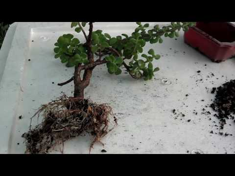 How to Jade Bonsai Repotting | Bonsai Maintenance Pruning (Urdu/hindi)