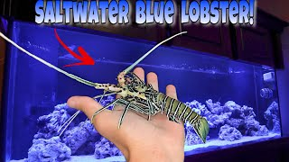 My NEW SALTWATER Blue LOBSTER For My AQUARIUM!!