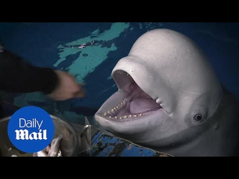 World's first open water sanctuary created for beluga whales