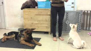 Training TWO Puppies At The Same Time