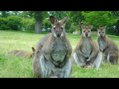 message-des-kangourous