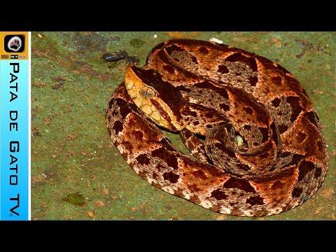 Guía de serpientes peligrosas en la península de Yucatán.