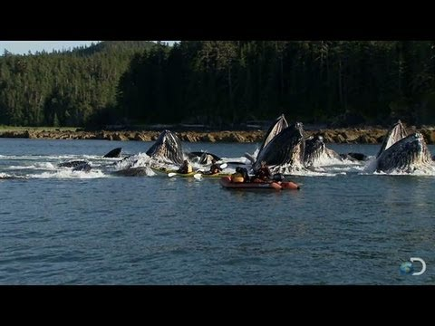 Humpback Whales Startle Kayakers | North America