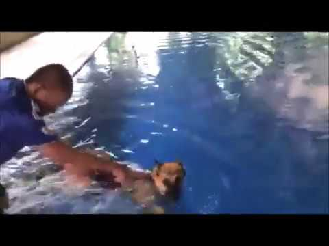 German shepherd dog is swimming in the pool