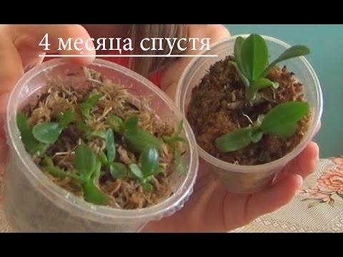 Семена Орхидей после посадки видео № 2. Прошло 4 месяца после скрытия банок:)))