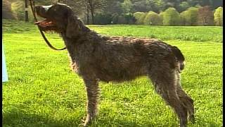Wirehaired Pointing Griffon - AKC Dog Breed Series