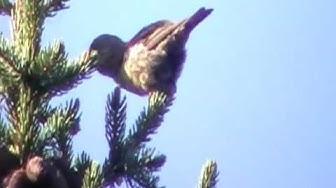 Isokäpylintu (Loxia pytyopsittacus)