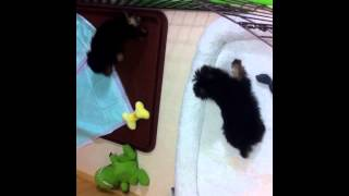 Bebes Teckel Dachshund Bidu E Yorkshire Terrier Luky