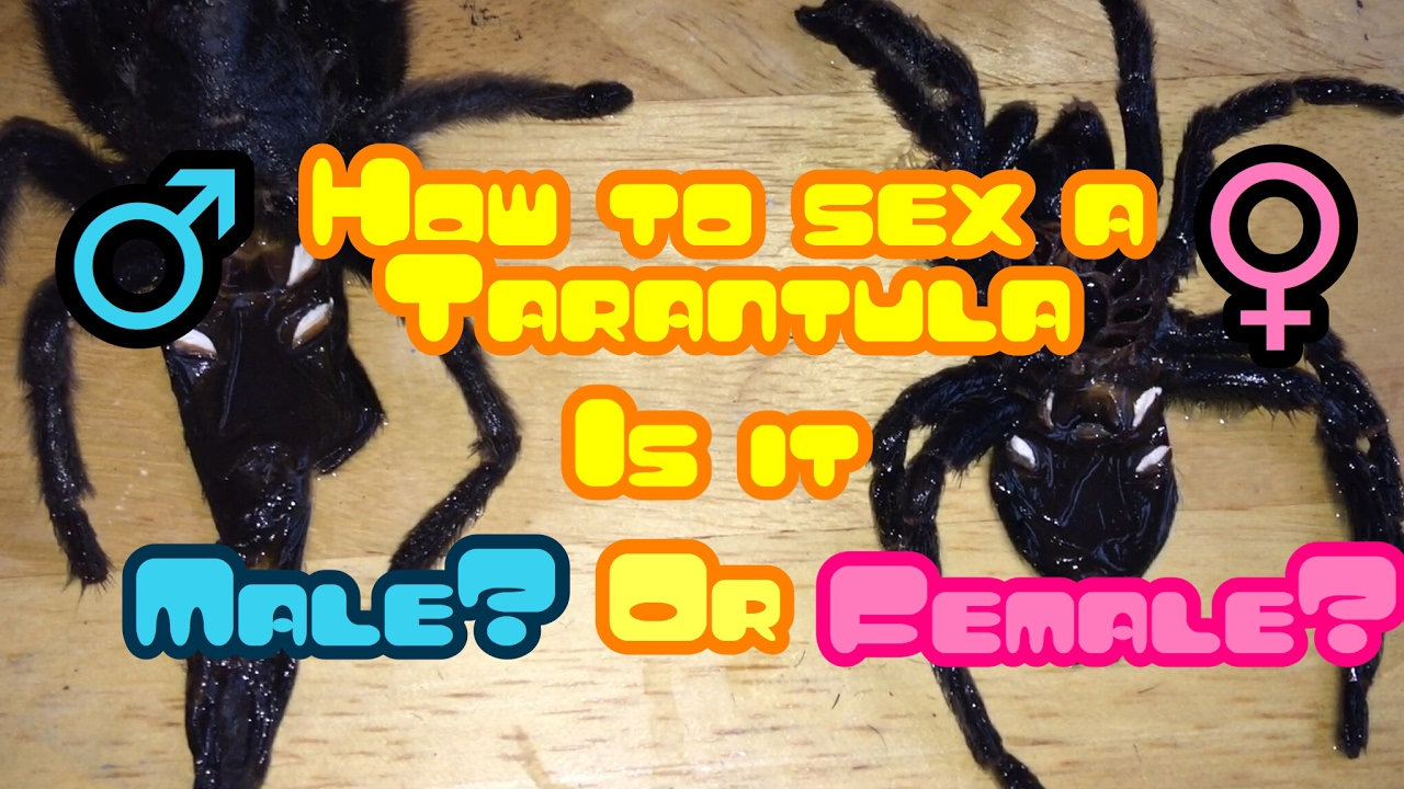 Tarantula sex organ