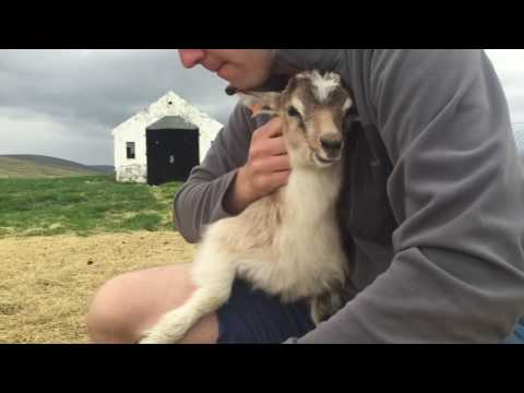 Playing with a Baby Goat at Icelandic Goat Farm