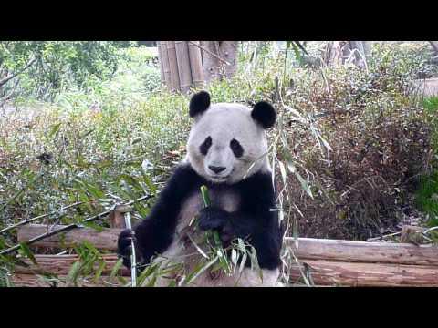 Giant Panda in Chengdu 2010