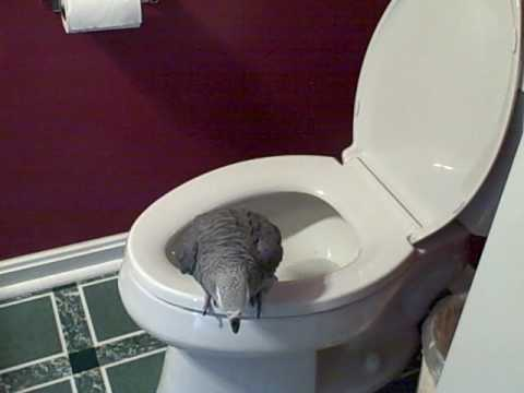 Potty Trained Bird (African Gray)
