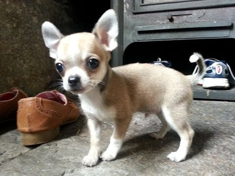 First week with the Chihuahua Puchi Junior