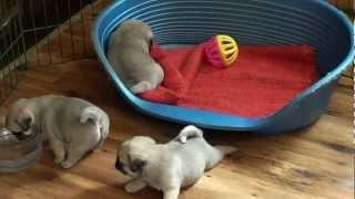 Mopsy szczeniaczki i ,,ciotka ,,Halinka''