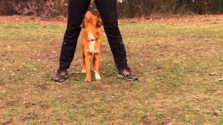Labrador Kira & Toller Caylie Tricks - Nova Scotia Duck Tolling Retriever