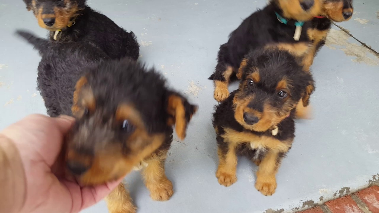 Airedale Terrier Puppies Sale Video S S Family Airedales