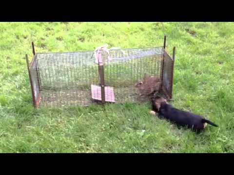 Teckel à 3 mois chasse lapin - YouTube