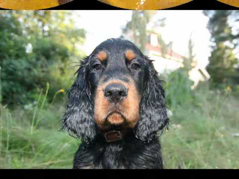 Gordon Setter puppy swimming etc!