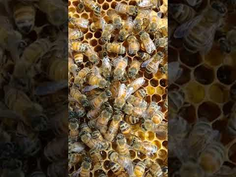 Have You Ever Seen a Queen Bee Laying Eggs?