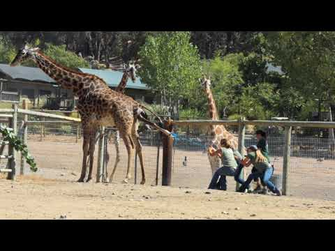 Thumbnail: Baby Giraffe Birth at Safari West