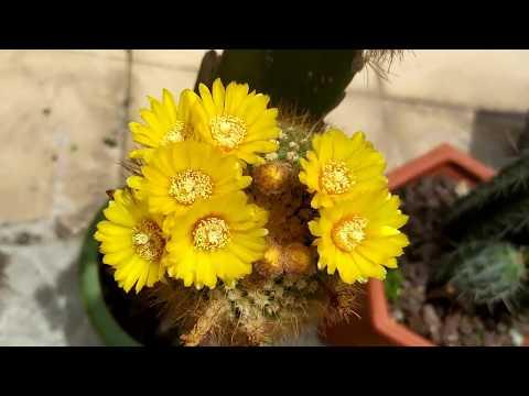 parodia-concinna-cactus-review