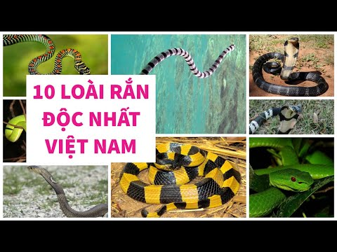10 Loài Rắn Độc Nhất Việt Nam - Số 1 không phải hổ mang |Series CÓ THỂ BẠN CHƯA BIẾT| 1M Sự Thật