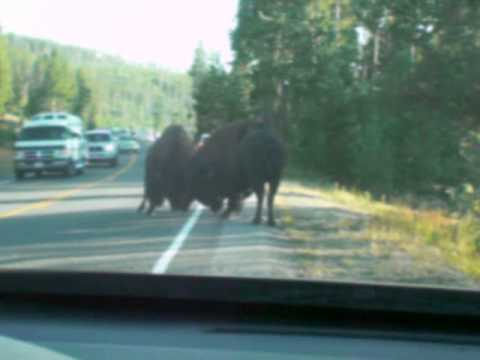 Yellowstone Nationalpark - Attacked by a Bison
