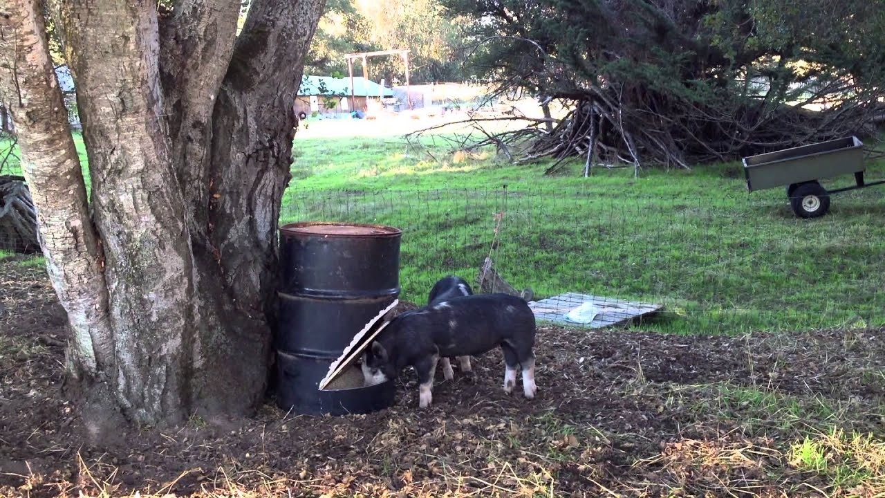 Advodna 2012 11 01 steel drum pig feeders youtube for How to build a deer feeder out of pvc pipe