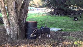 Advodna: 2012-11-01 Steel Drum Pig Feeders