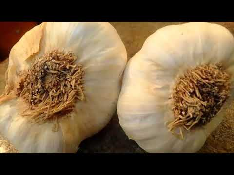 Your garlic is being imported from China; filled with bleach AND chemicals  here's how to spot it