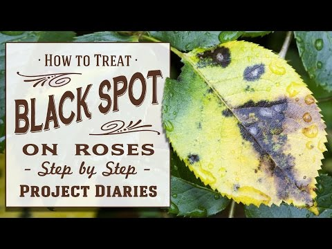 How To Treat Black Spot On Roses Complete Step By Step Guide