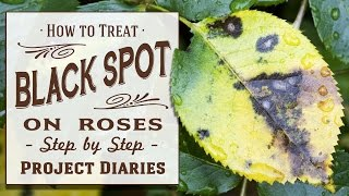 ★ How to: Treat Black Spot on Roses (A Complete Step by Step Guide)