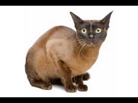 european burmese cats for sale