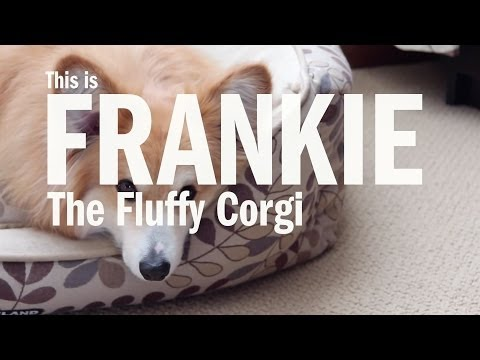 Introducing Frankie the Fluffy Pembroke Welsh Corgi