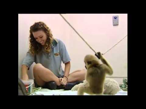 Baby Gibbon Ape Playing (Animal Allies)