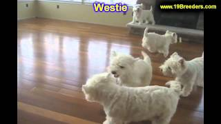 West Highland Terrier, Puppies, For, Sale, In, Butte Silver Bow, Montana, Mt, Helena, Havre, Kalispe